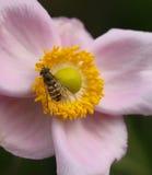 Biene in der Knospe Lizenzfreies Stockfoto