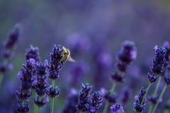 Biene in der Lavendel-Anlage nah herauf Makro lizenzfreie stockfotografie