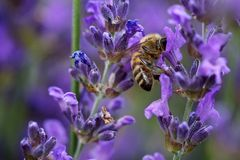 Biene in der purpurroten Blume Lizenzfreies Stockfoto