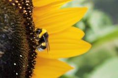 Biene in der Sonnenblume Lizenzfreies Stockfoto