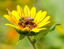 Biene der unermüdlichen Arbeitskraft, die eine helle, schöne Sonnenblume bestäubt stockfotos