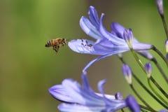 Biene, die über Blume schwebt Lizenzfreie Stockfotos