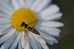 Biene, die über ein weißes Gänseblümchen fliegt Stockfotografie