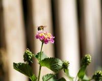 Biene, die über eine Blume fliegt stockbilder
