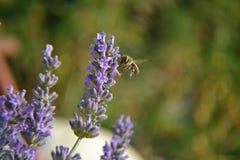 Biene, die über Lavendelblume fliegt Stockbild