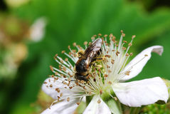 Biene, die auf Blütenbrombeere sitzt Stockbild