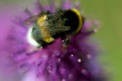 Biene, die auf Blume der Klette in der Wiese sitzt Stockfoto