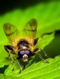 Biene, die auf einem grünen Blatt aufwirft Stockbilder