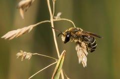 Biene, die auf einem trockenen Gras sitzt Stockbilder