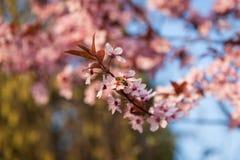 Biene, die auf einem weißen blühenden Baum sitzt Stockfoto