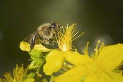 Biene, die auf einer Blüte herumfummelt Lizenzfreie Stockbilder