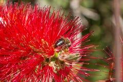 Biene, die auf einer Blume sitzt Lizenzfreie Stockfotografie