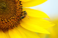 Biene, die auf einer gelben Sonnenblume sitzt lizenzfreie stockbilder