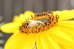 Biene, die auf einer Sonnenblume sich aalt Stockfotografie