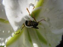 Biene, die auf einer weißen Blume sitzt stockbild
