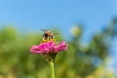 Biene, die auf einer Zinniaanlage stillsteht Lizenzfreie Stockbilder