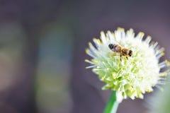 Biene, die auf einer Zwiebelblume im Garten sitzt lizenzfreie stockbilder