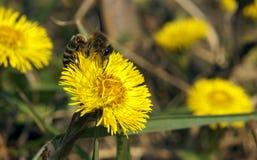 Biene, die auf gelber Blume klettert Lizenzfreies Stockfoto