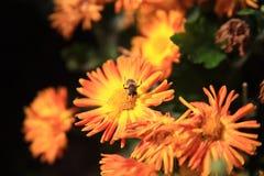 Biene, die auf gelber Blume sitzt Lizenzfreie Stockfotos