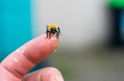 Biene, die auf menschlichem Finger sitzt Stockbilder