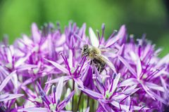 Biene, die auf purpurroter Lauch hollandicum Blume nectaring ist lizenzfreie stockfotos