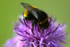 Biene, die auf schöner Blume der Klette in der Wiese sitzt Stockfoto