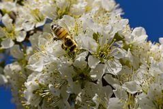 Biene, die auf weißen Blumen bestäubt stockfotografie