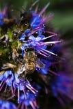 Biene, die Blütenstaub auf blauer und purpurroter Blume erfasst Stockfotografie