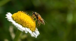 Biene, die Blütenstaub auf Blume sammelt Lizenzfreie Stockfotografie