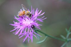 Biene, die Blütenstaub auf einer purpurroten Distel in einer Michigan-Wiese sammelt Stockfotografie