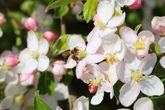 Biene, die Blütenstaub erfasst lizenzfreie stockfotografie