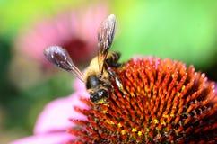 Biene, die Blütenstaub erfasst Stockfoto