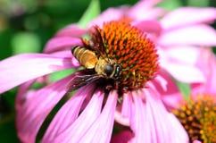 Biene, die Blütenstaub erfasst lizenzfreies stockbild