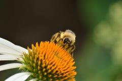 Biene, die Blütenstaub erfasst Stockbilder