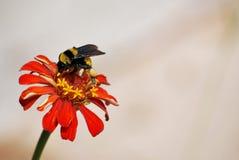 Biene, die Blütenstaub erhält Stockbild