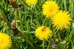 Biene, die Blütenstaub am Feld von gelben Blumen erfasst Stockfotos