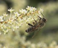 Biene, die Blütenstaub montiert Lizenzfreie Stockbilder