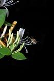 Biene, die Blütenstaub montiert Lizenzfreie Stockfotos