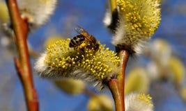 Biene, die Blütenstaub montiert Lizenzfreies Stockfoto