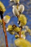 Biene, die Blütenstaub montiert Stockbild