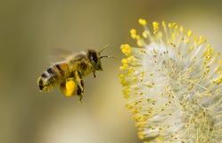 Biene, die Blütenstaub montiert