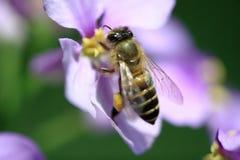 Biene, die Blütenstaub montiert stockfotografie