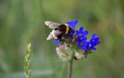Biene, die Blütenstaub vom blauen Wildflower sammelt Lizenzfreies Stockfoto