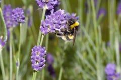 Biene, die Blütenstaub vom Lavendel sammelt Stockfotos