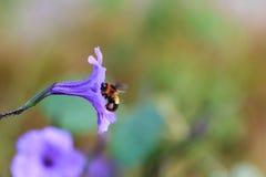 Biene, die Blütenstaub von den Blumen sammelt Stockfotografie