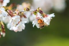 Biene, die Blütenstaub von den Blumen sammelt Lizenzfreie Stockfotos