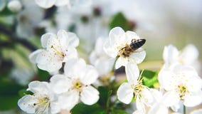 Biene, die Blütenstaub von der Birnenblüte sammelt stock footage