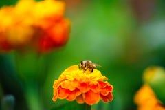 Biene, die Blütenstaub von der Calendulablume montiert Lizenzfreie Stockfotografie
