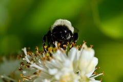 Biene, die Blütenstaub von einer weißen Blume erfasst Makro Lizenzfreies Stockbild
