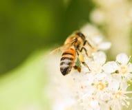 Biene, die Blütenstaub von einer weißen Blume erfasst Makro lizenzfreie stockfotos
